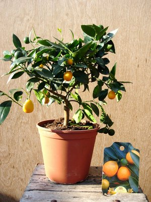 Kumquat Citrus fortunella reale in a 20cm pot Preview