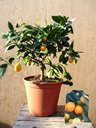 View Item Kumquat Citrus fortunella reale in a 20cm pot