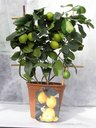 View Item Citrus meyer Lemon tree espalier in 20cm pot