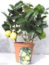 "View Item Citrus Lipo ""Imperial Lemon"" Espalier in 22cm pot"
