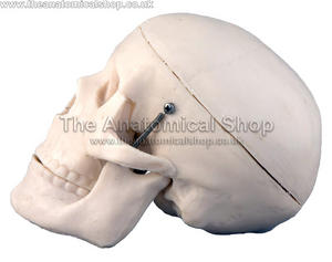 ANATOMICAL MEDICAL MINI HUMAN SKULL MODEL