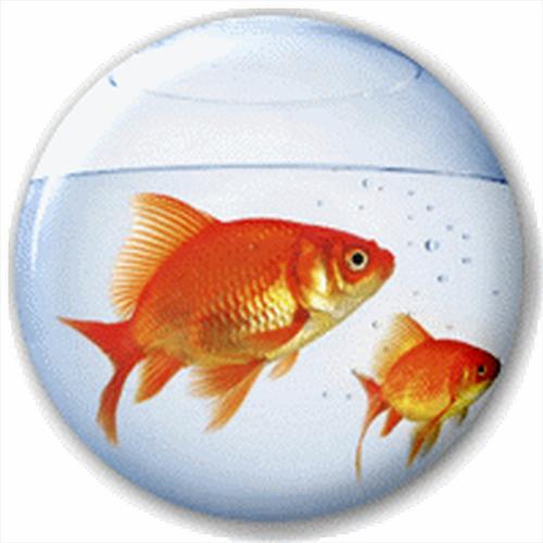 Boccia pesce 25mm spilla badge nome pin pesce rosso for Quanto vive un pesce rosso