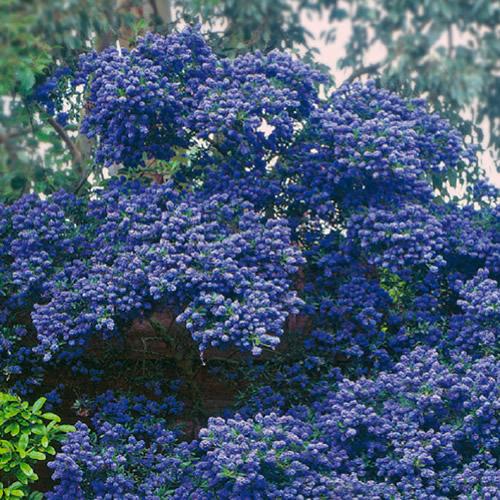 Small Evergreen Shrubs For Pots: 3 X CEANOTHUS 'CONCHA' EVERGREEN SHRUB HARDY GARDEN PLANT