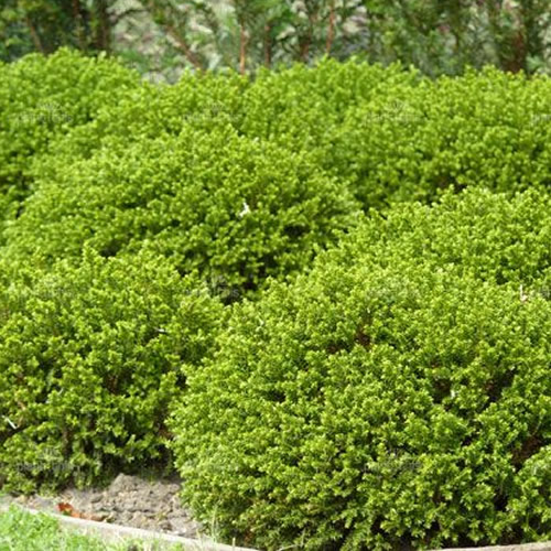Small Evergreen Shrubs For Pots: 3 X HEBE 'GREEN MOUND' EVERGREEN SHRUB HARDY GARDEN PLANT