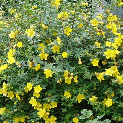 1 x hypericum 39 hidcote 39 semi evergreen shrub hardy garden for Hardy plants for the garden