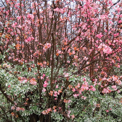 3 x viburnum bodnantense 39 dawn 39 deciduous shrub hardy. Black Bedroom Furniture Sets. Home Design Ideas