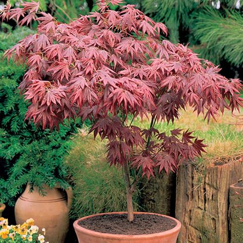1 x acer 39 atropurpureum 39 purple japanese maple tree shrub for Japanese trees for small gardens