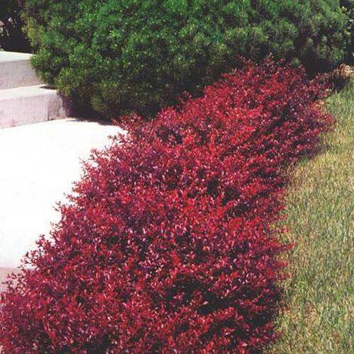 1 x berberis atropurpurea 39 nana 39 japanese barberry for Arbusti ornamentali