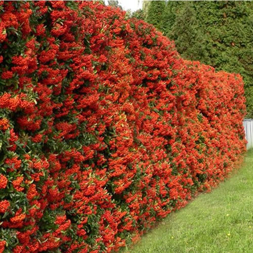 1 x pyracantha 39 red column 39 red firethorn evergreen shrub garden plant in pot ebay. Black Bedroom Furniture Sets. Home Design Ideas
