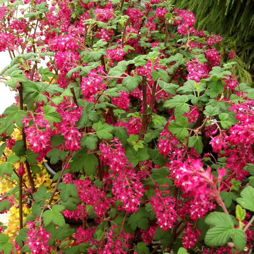 1 x ribes 39 king edward vii 39 flowering currant deciduous shrub hardy plant in pot ebay. Black Bedroom Furniture Sets. Home Design Ideas