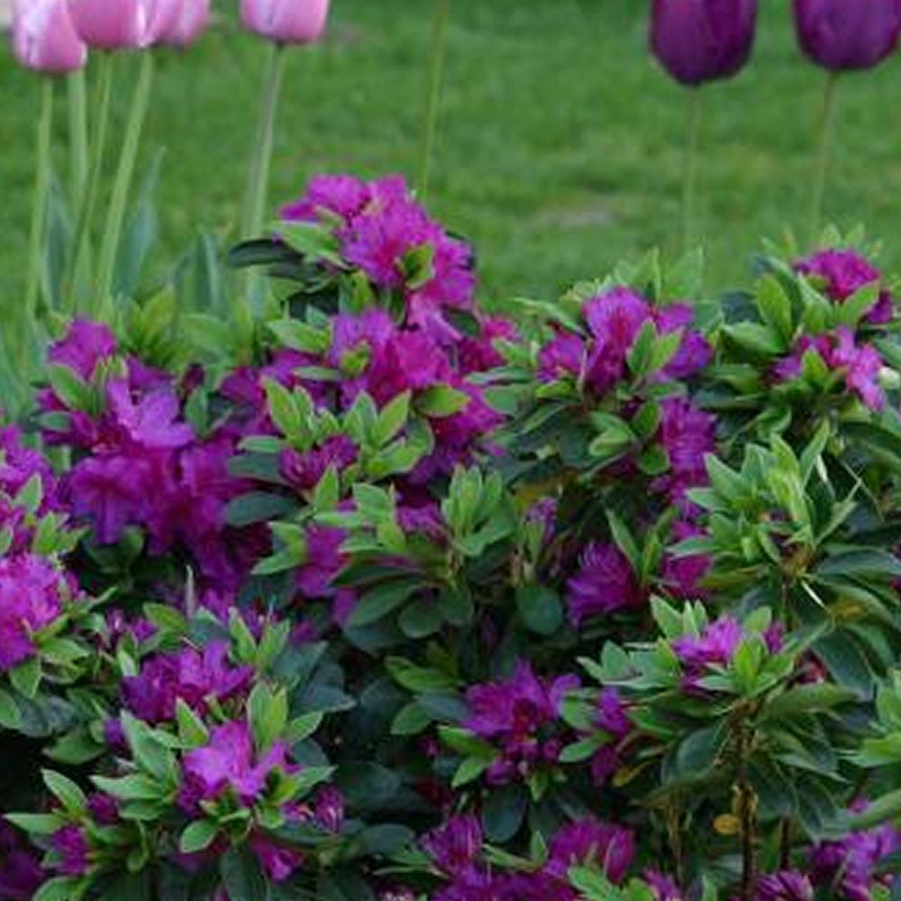 1 x purple azalea japanese evergreen shrub hardy garden for Hardy flowering trees