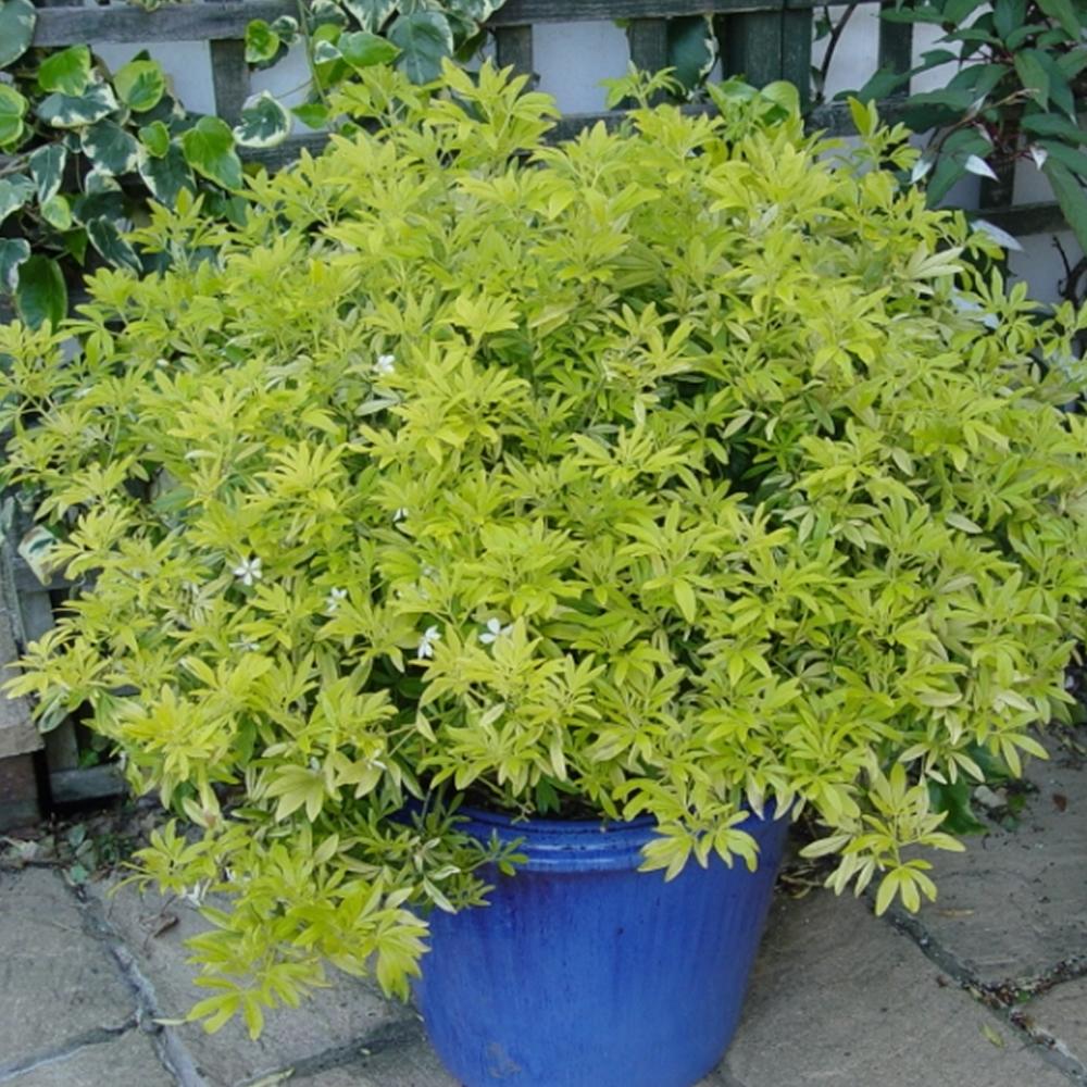 Small Evergreen Shrubs For Pots: 1 X CHOISYA 'GOLDFINGER' MEXICAN ORANGE EVERGREEN HARDY