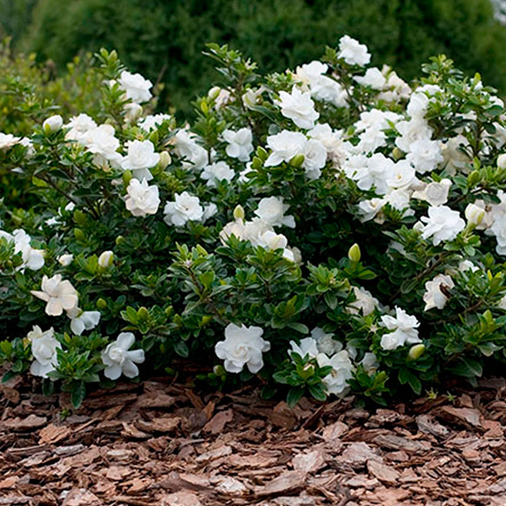 1 x gardenia jasminoides 39 crown jewel 39 cape jasmine evergreen shrub plant in pot. Black Bedroom Furniture Sets. Home Design Ideas