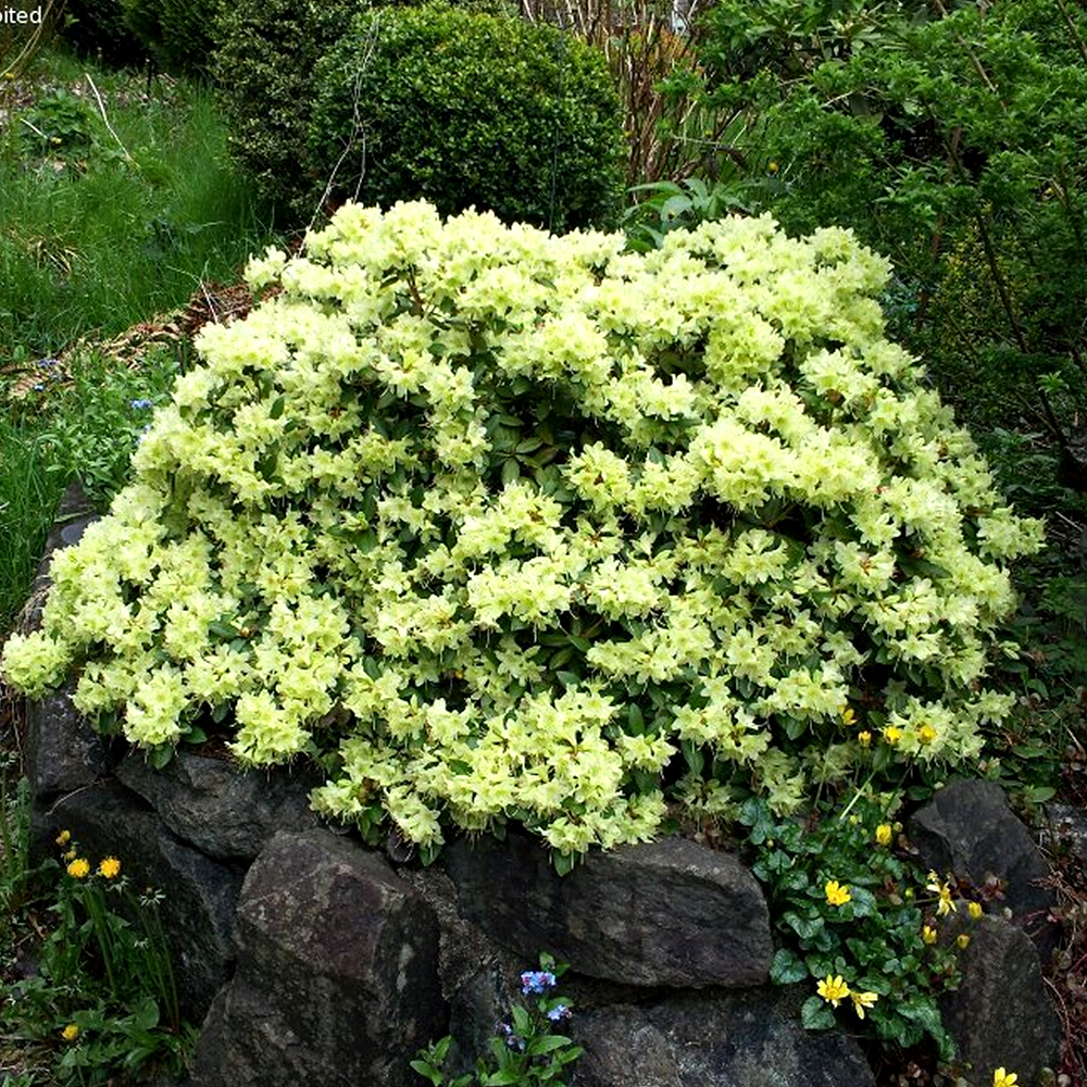 1 x rhododendron 39 shamrock 39 evergreen bushy shrub hardy for Hardy plants for the garden