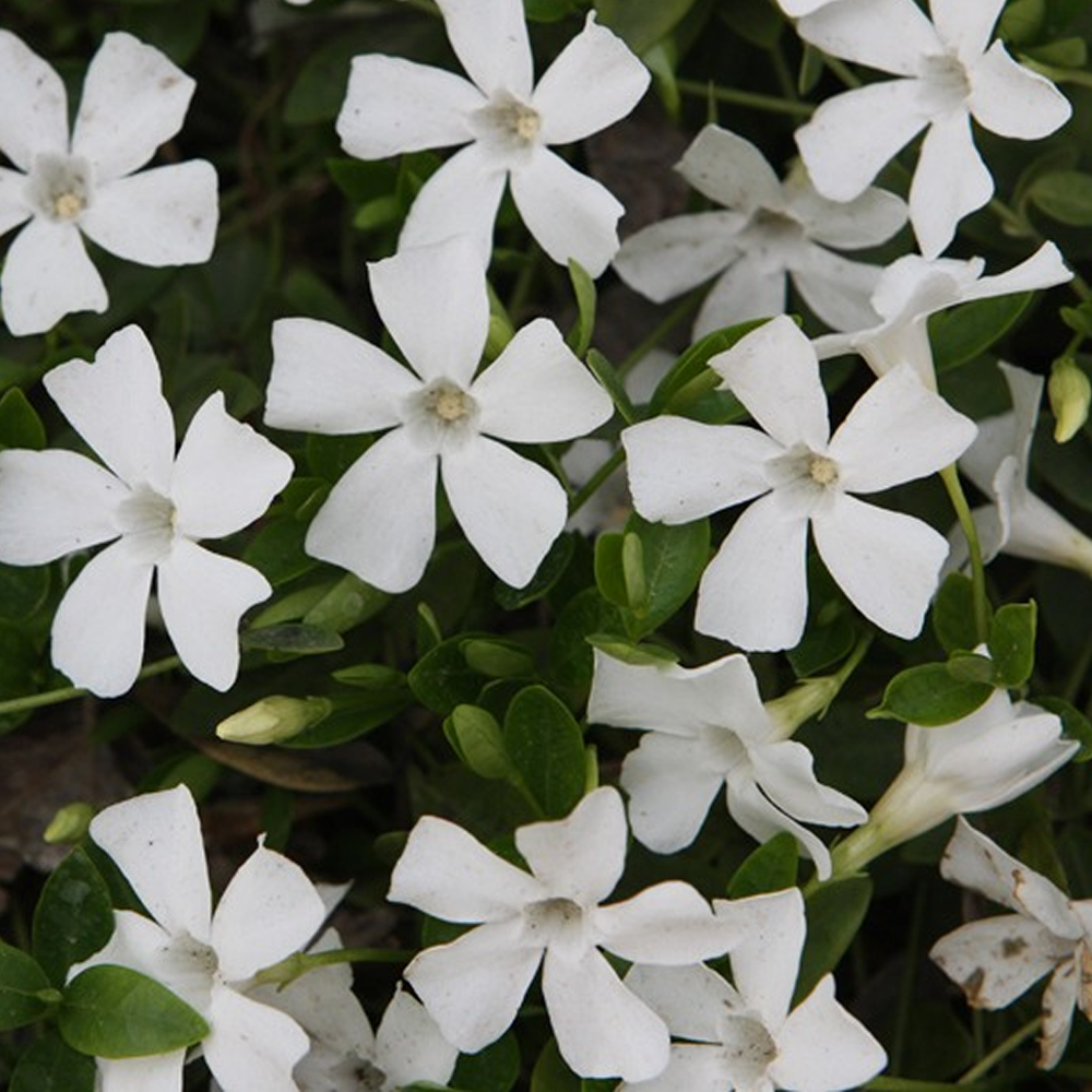 3 x vinca minor 39 alba 39 lesser periwinkle evergreen shrub garden plant in pot. Black Bedroom Furniture Sets. Home Design Ideas