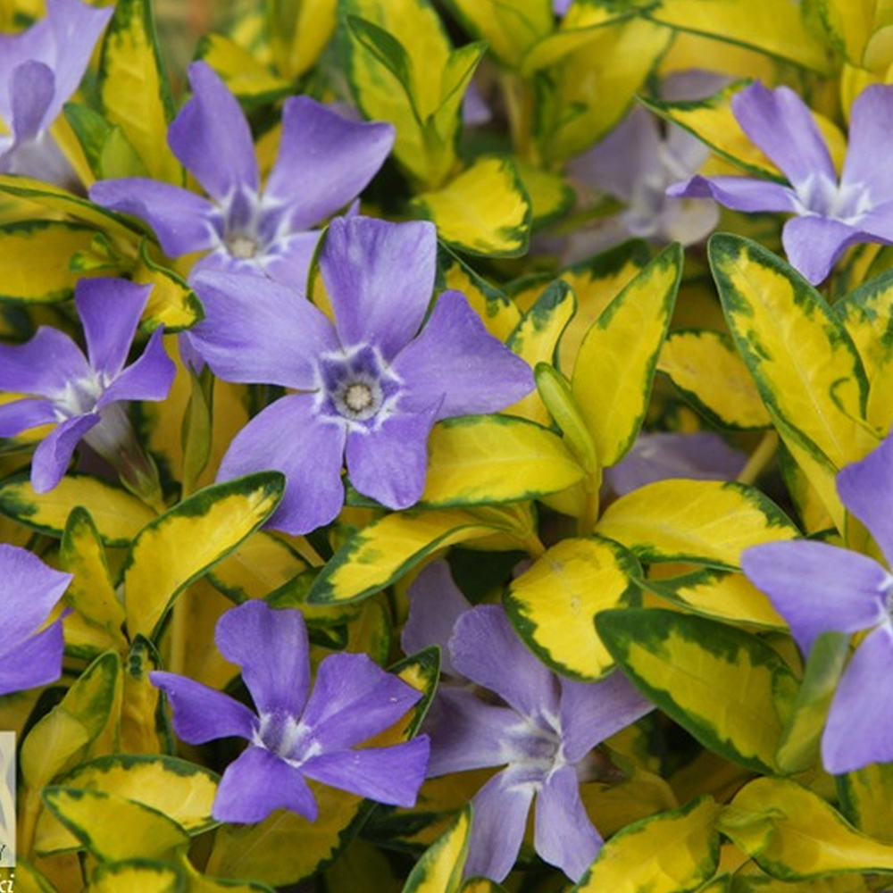 3 vinca minor illumination lesser periwinkle evergreen. Black Bedroom Furniture Sets. Home Design Ideas