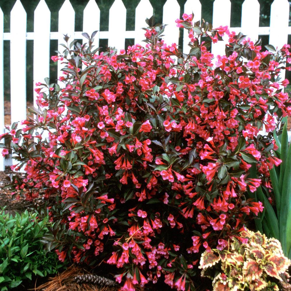 Weigela florida wine and roses deciduous shrub hardy