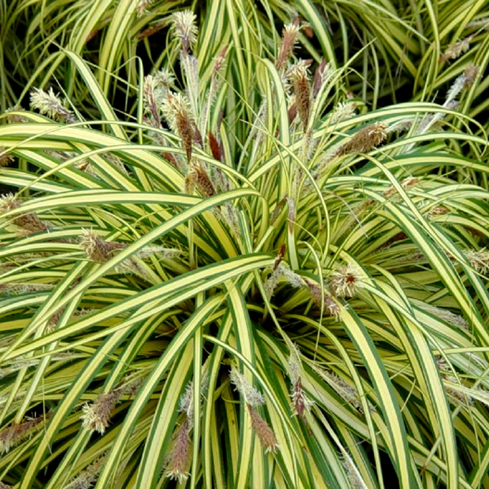 1 x carex oshimensis 39 evergold 39 sedge evergreen shrub for Short variegated grass