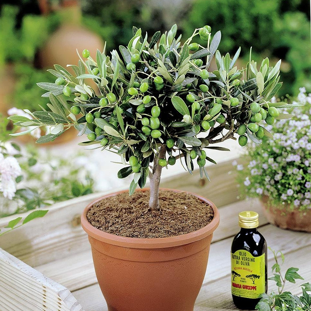 1 x 39 olea europea 39 common olive tree evergreen growing for Fertilizing olive trees in pots