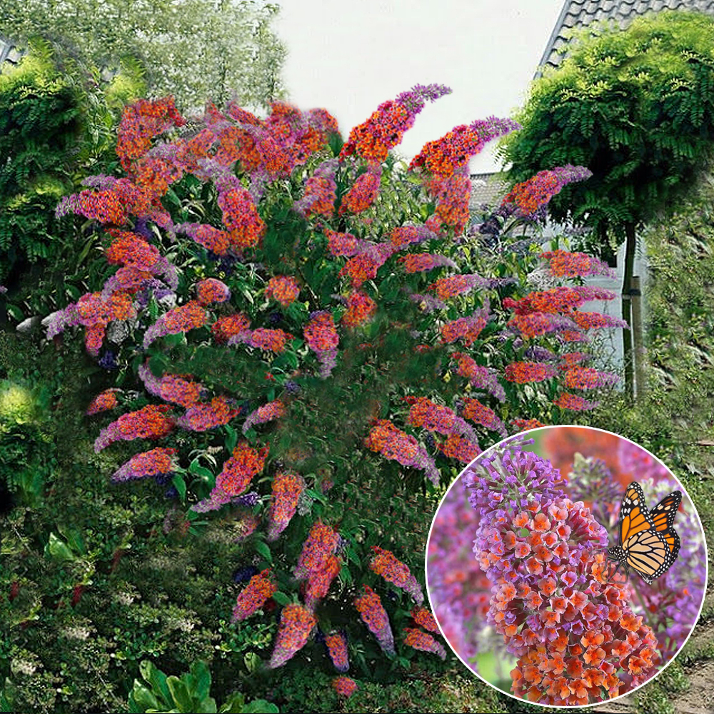Buddleia flower power butterfly bush vibrant colours healthy garden plant ebay - Flowers planted may complete garden ...