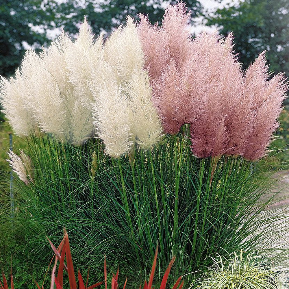 White pink combo cortaderia selloana pampas grass w pot for Tall ornamental grasses for pots