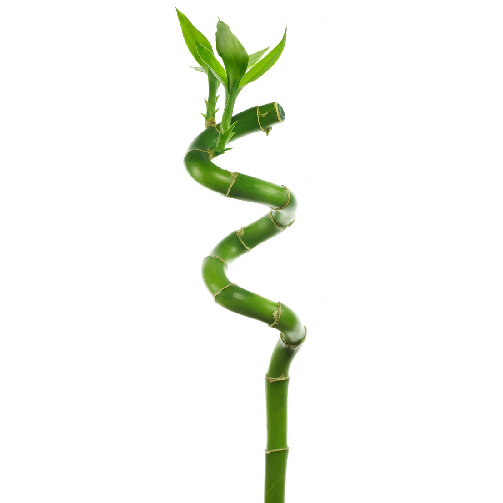 3 x lucky bamboo 50cm spiral stems for indoor plant pot. Black Bedroom Furniture Sets. Home Design Ideas