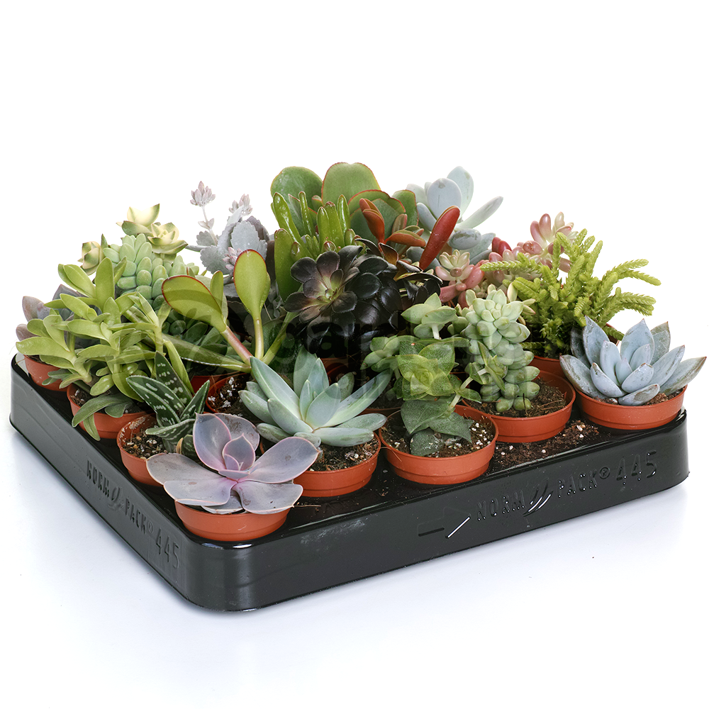 Succulent mix 20 plants house office live indoor pot plant ideal gift ebay - Ideal indoor plants ...