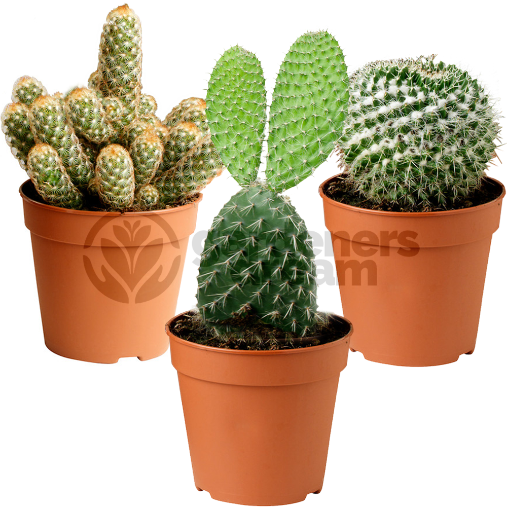 Cactus mix 3 plants house office live indoor pot plant ideal gift ebay - Ideal indoor plants ...