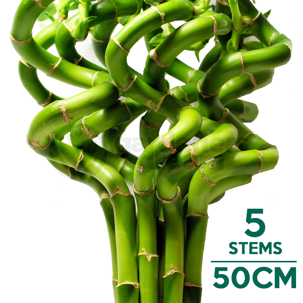 50cm lucky bamboo 5 spiral stems indoor plant pot garden windowsill bowl ebay. Black Bedroom Furniture Sets. Home Design Ideas
