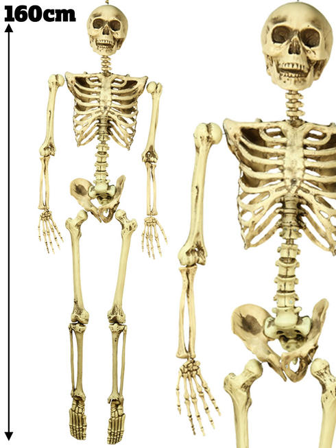 160cm Skeleton Prop