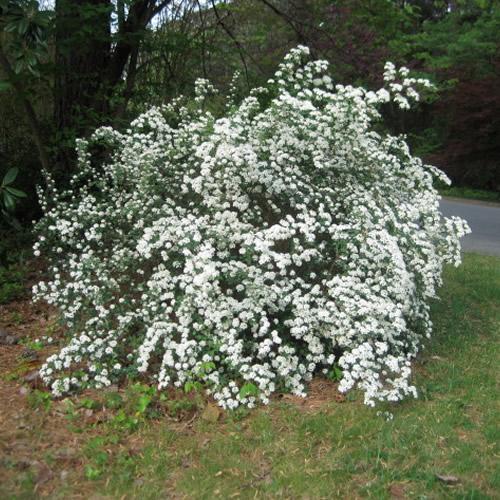 1 X Spiraea Snowmound Deciduous Shrub Hardy Garden Plant