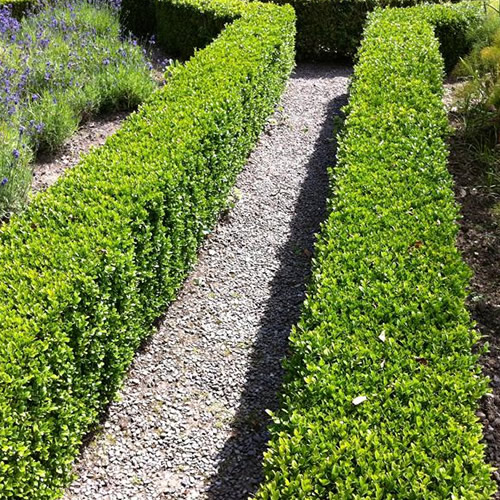 10 X Buxus Sempervirens Common Box Bushy Evergreen Hedging