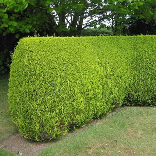 10 x leylandii gold evergreen conifer hedging castlewellan. Black Bedroom Furniture Sets. Home Design Ideas