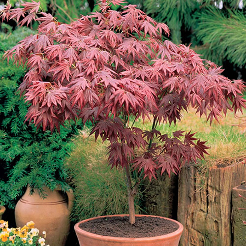 1 X ACER ATROPURPUREUM PURPLE JAPANESE MAPLE TREE SHRUB GARDEN PLANT IN POT
