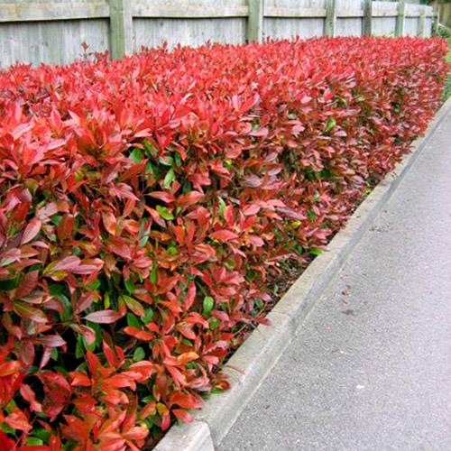 3 X Photinia Red Robin Bushy Evergreen Hardy Shrub Hedging