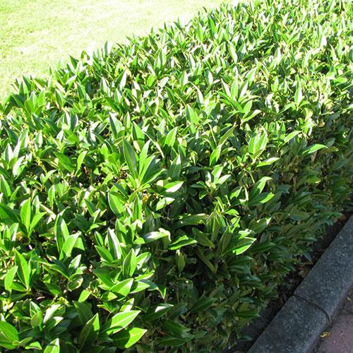 1 X Prunus Rotundifolia Cherry Laurel Evergreen Shrub