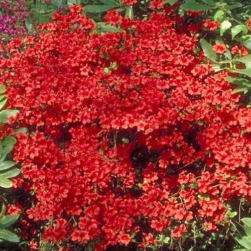 3 X Azalea Geisha Red Japanese Evergreen Shrub Hardy