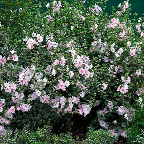 1 X Lavatera Barnsley Baby Tree Mallow Evergreen Shrub
