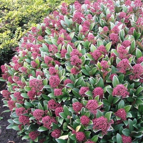 1 x skimmia japonica 39 rubella 39 evergreen shrub hardy for Small evergreen flowering trees