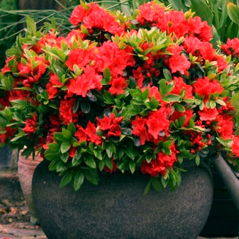 3 X Red Azalea Anese Evergreen Shrub Hardy Garden Plant In Pot