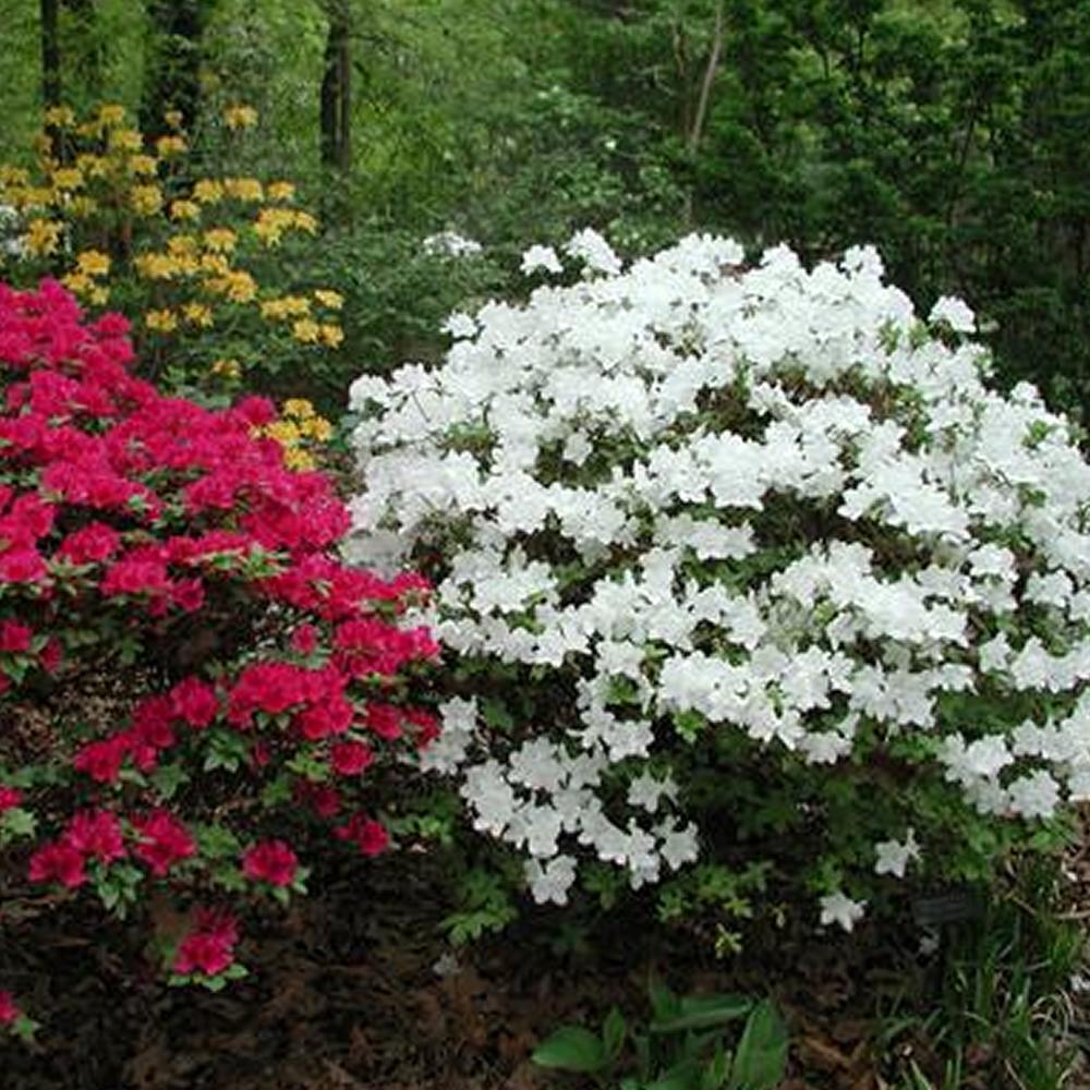 Small Evergreen Shrubs For Pots: 3 X WHITE AZALEA JAPANESE EVERGREEN SHRUB HARDY GARDEN