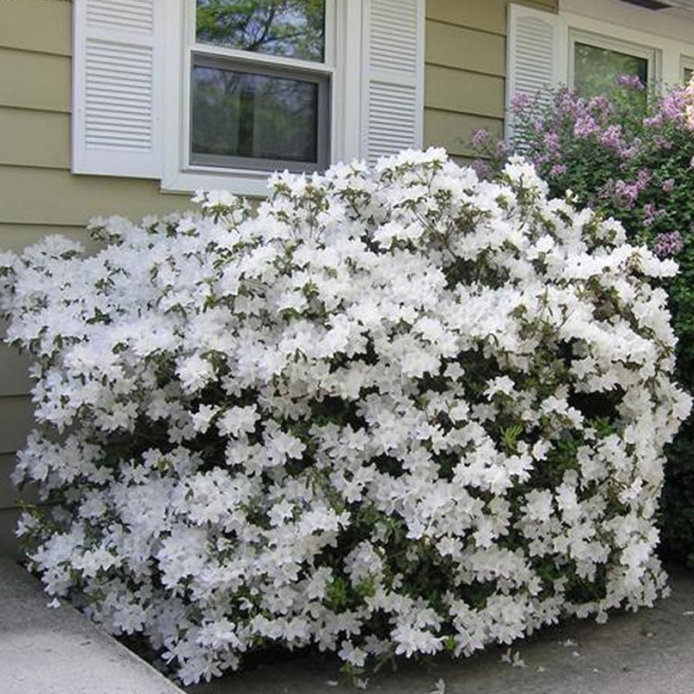 3 x white azalea japanese evergreen shrub hardy garden. Black Bedroom Furniture Sets. Home Design Ideas