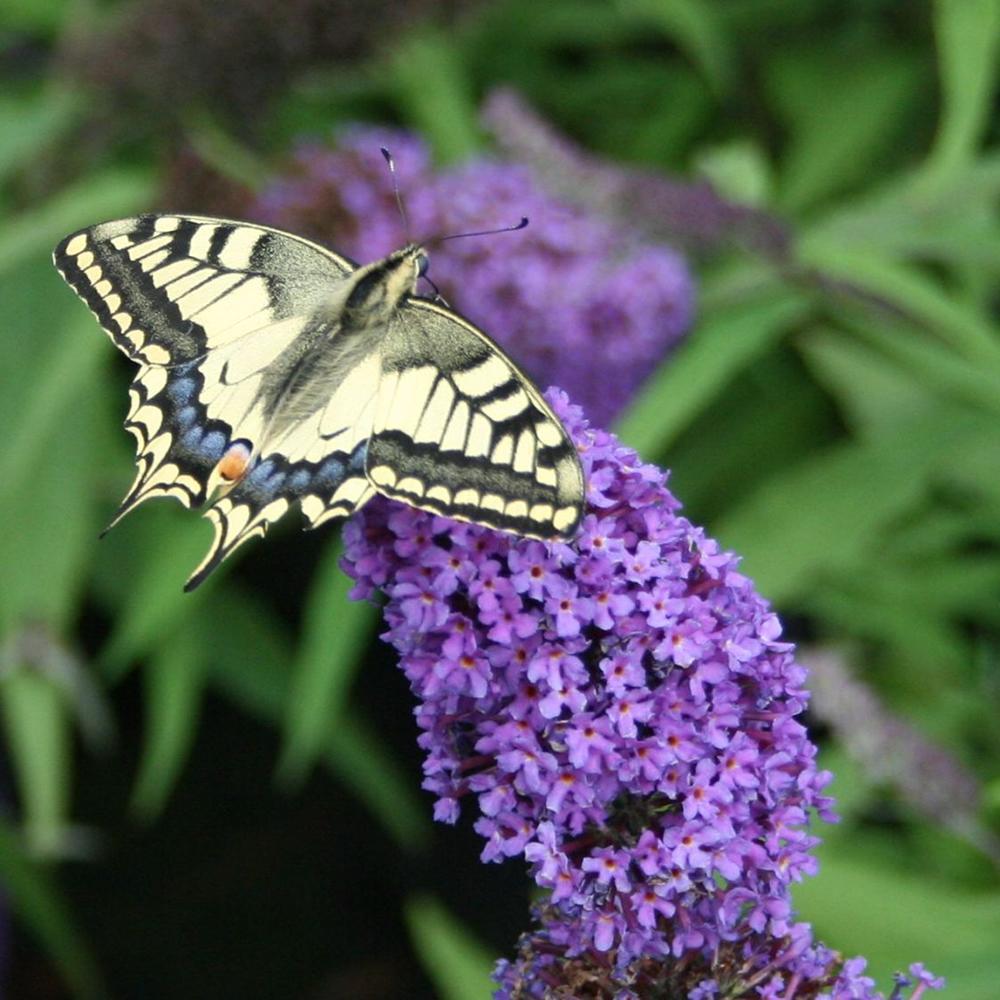 1 X Buddleja Davidii Purple Emperor Butterfly Bush
