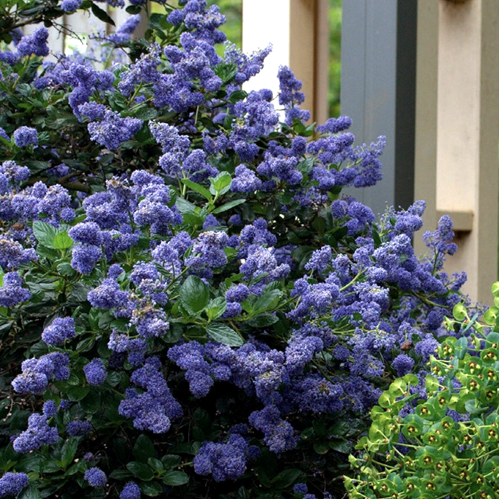 1 x ceanothus 39 yankee point 39 california lilac evergreen. Black Bedroom Furniture Sets. Home Design Ideas