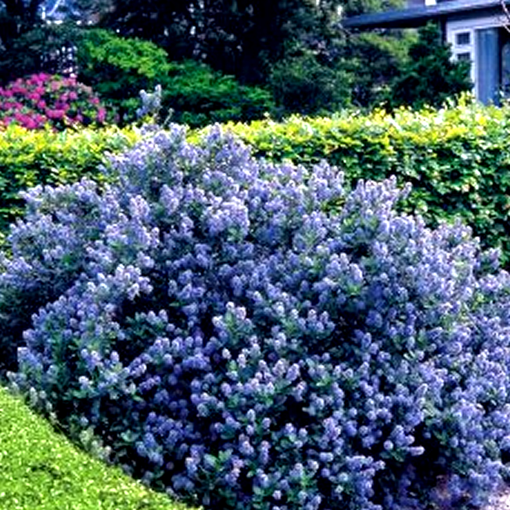 Ask Ina Garten: 3 X CEANOTHUS 'YANKEE POINT' CALIFORNIA LILAC EVERGREEN