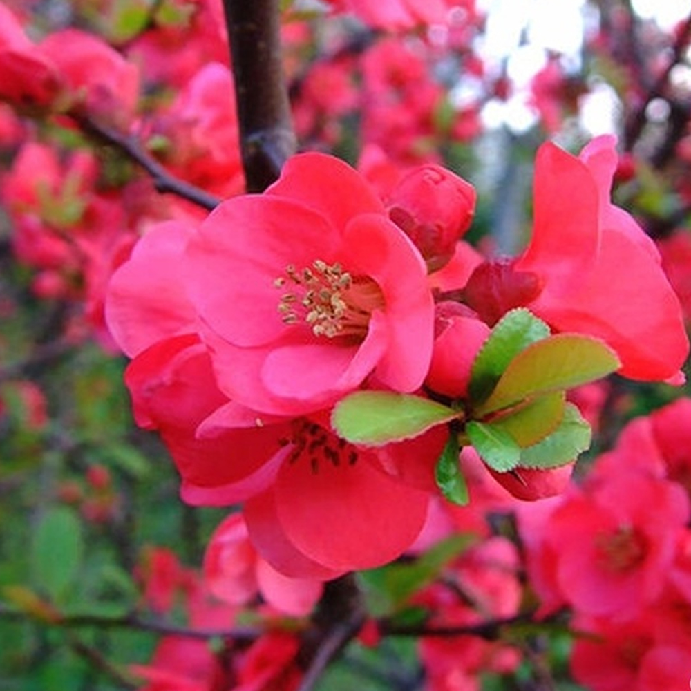 1 X Chaenomeles Pink Lady Japanese Quince Deciduous Hardy Shrub