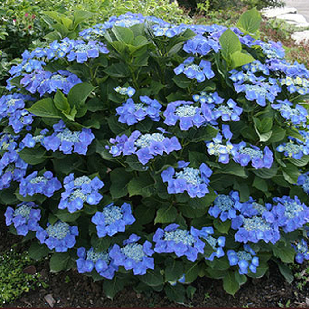 1 x hydrangea macrophylla 39 teller blue 39 deciduous shrub. Black Bedroom Furniture Sets. Home Design Ideas