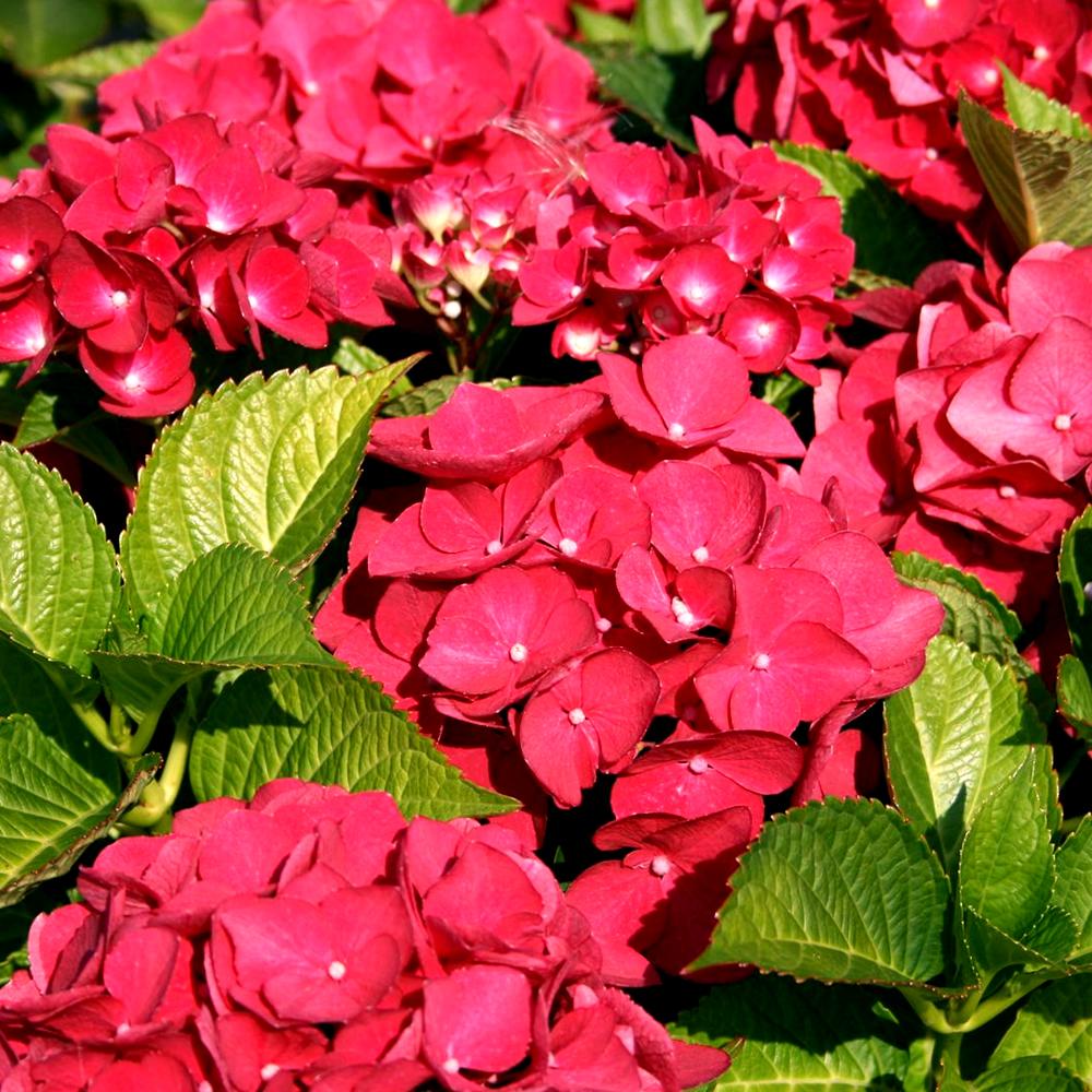1 X Hydrangea Macrophylla Teller Red Deciduous Shrub