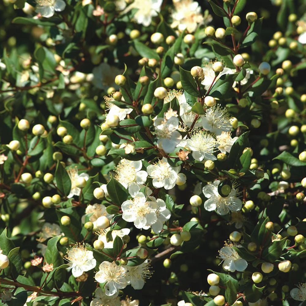 Small Evergreen Shrubs For Pots: 1 X MYRTUS 'TARENTINA' TARENTUM MYRTLE EVERGREEN SHRUB