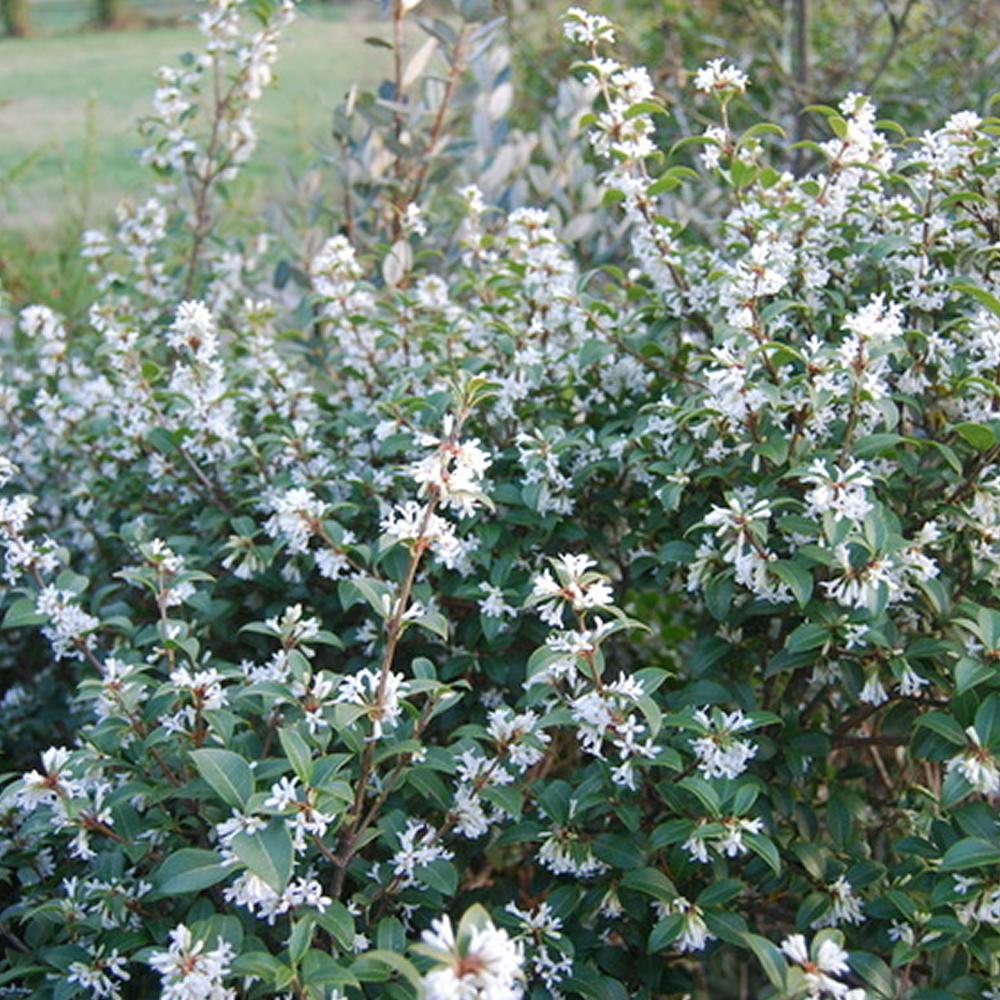 3 X Osmanthus Burkwoodii Burkwood Evergreen Shrub Hardy
